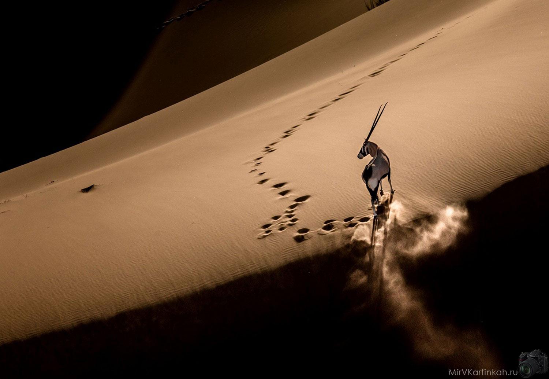 Орикс в дюнах