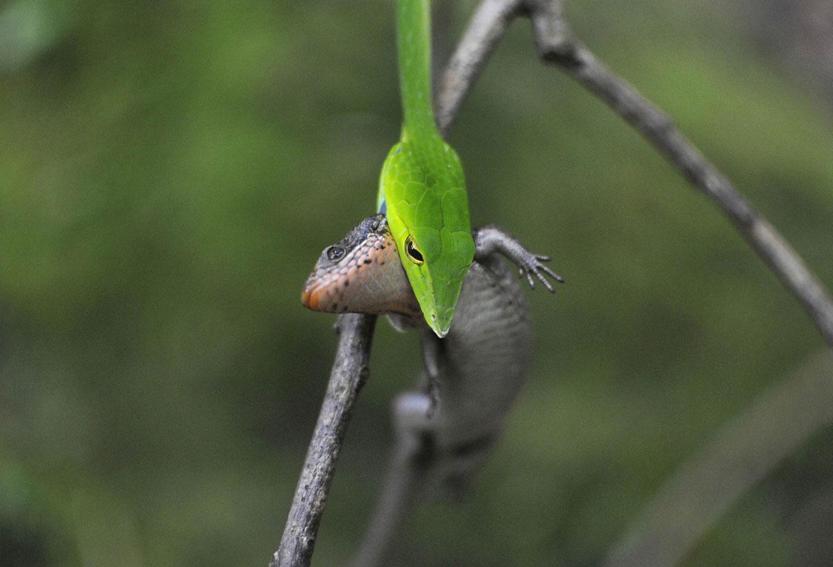 змея поймала ящерку