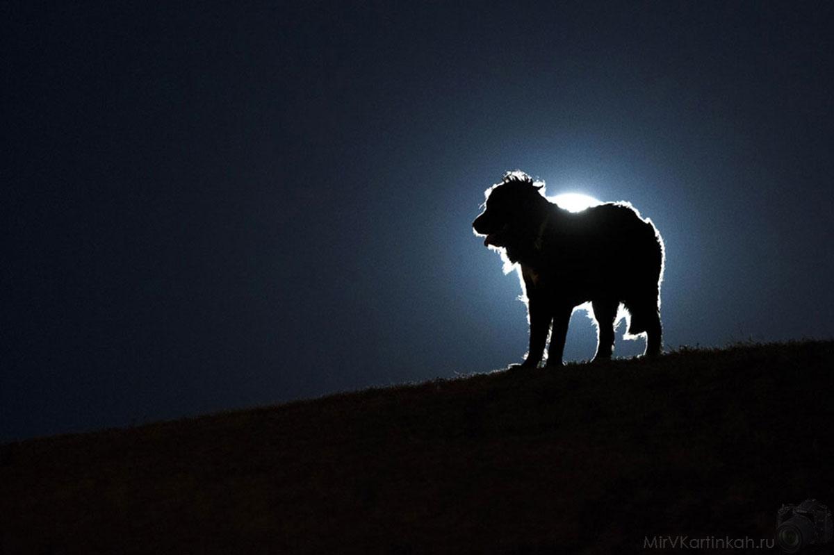 Собака на фоне полной луны