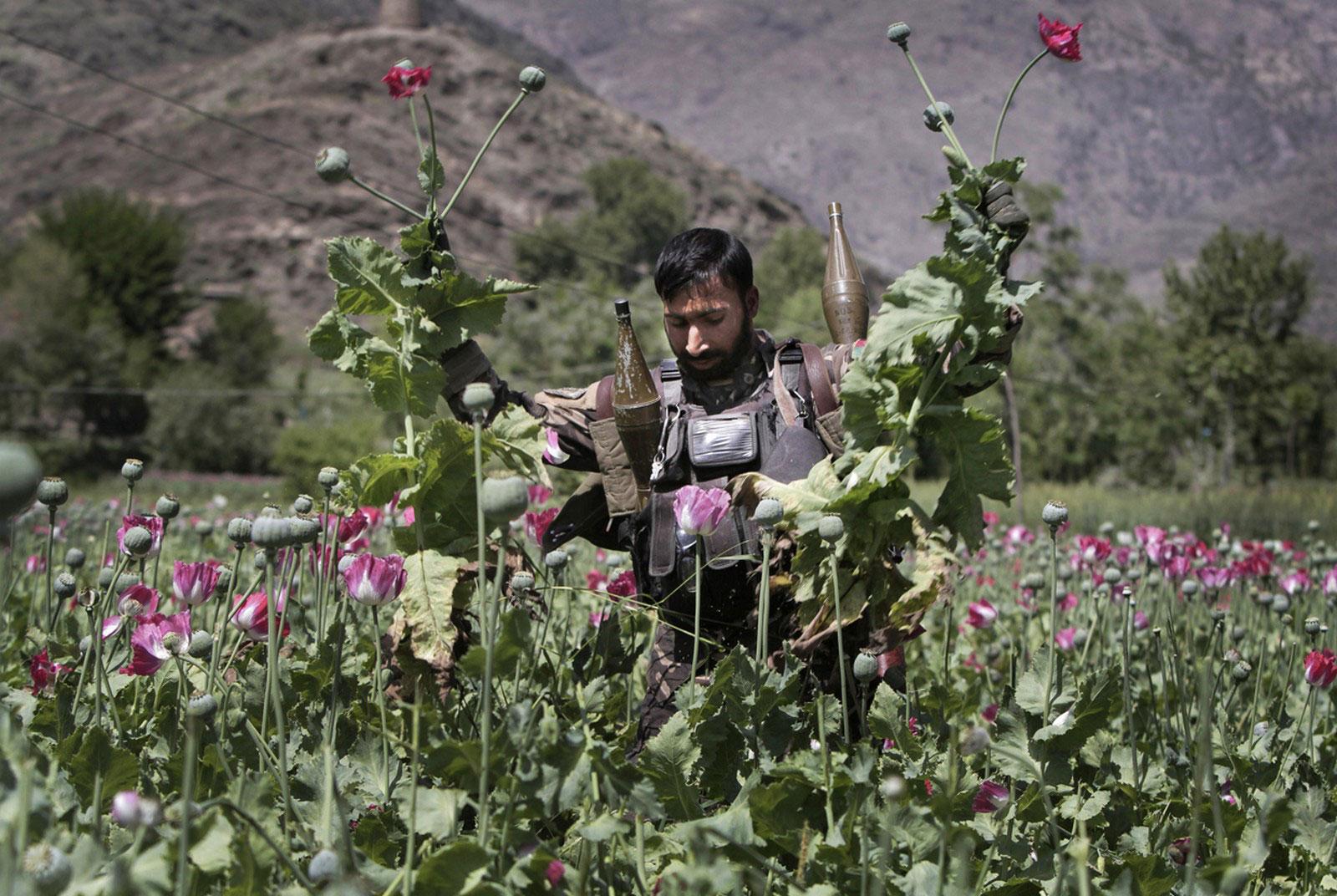 афганский полицейский уничтожает поля опийного мака