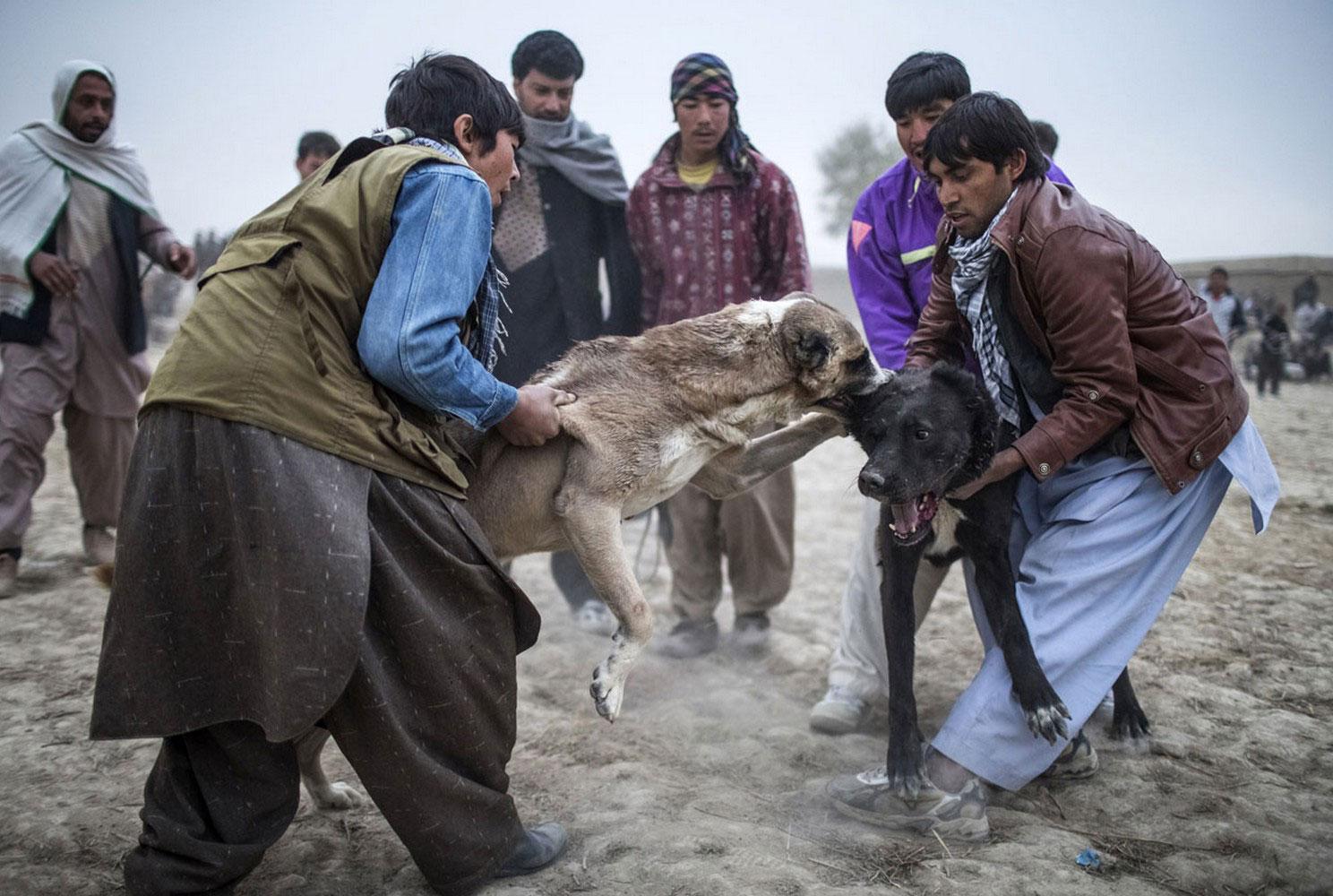 собачьи бои в Афганистане, фото