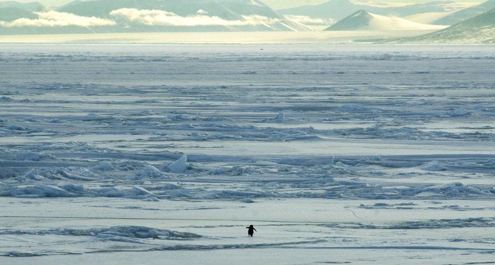 пингвины Адели, фото