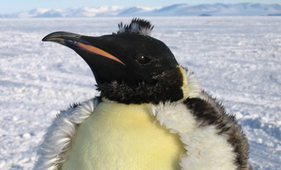 императорский пингвин, фото