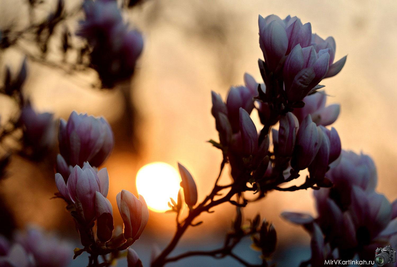 Магнолии в цвету