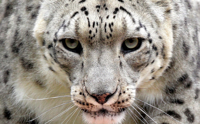 снежный барс, фото дикого животного
