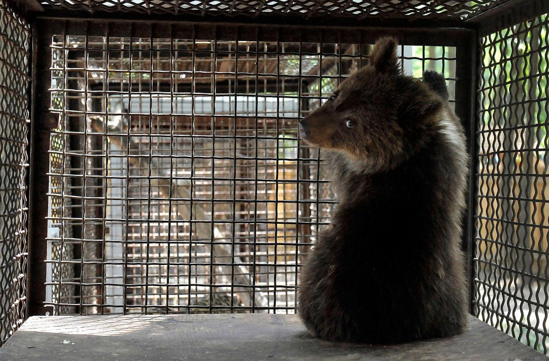 медвежонок, фото дикого животного
