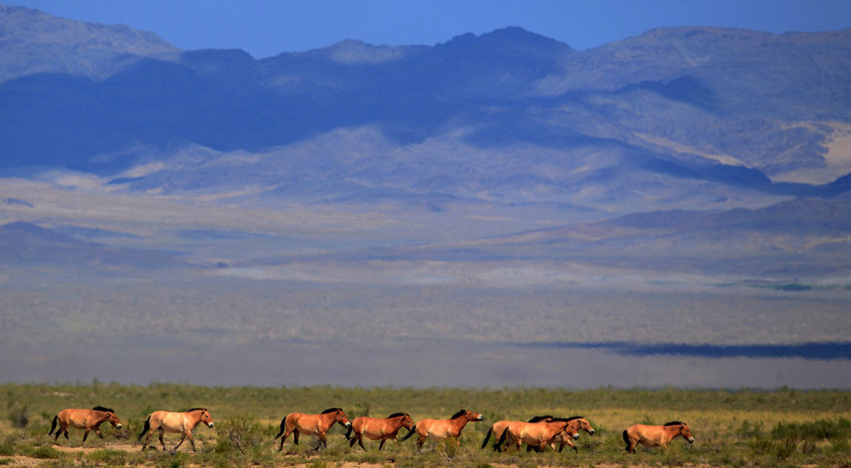 лошади Пржевальского, фото