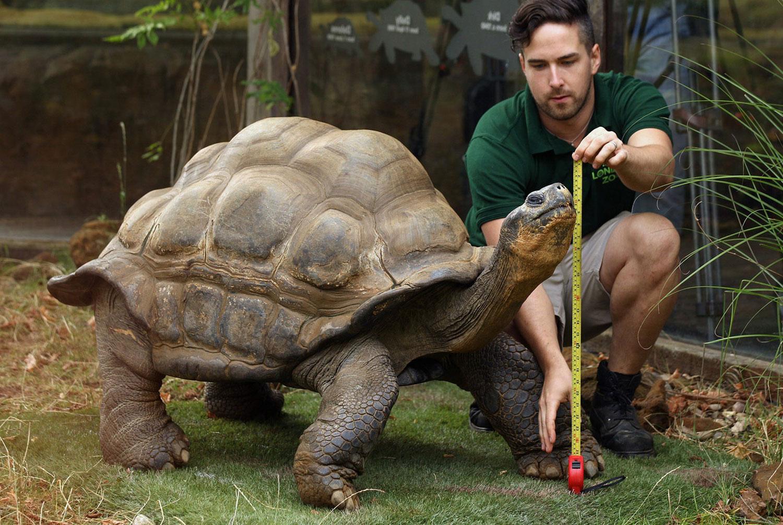 гигантская дикая черепаха, фото