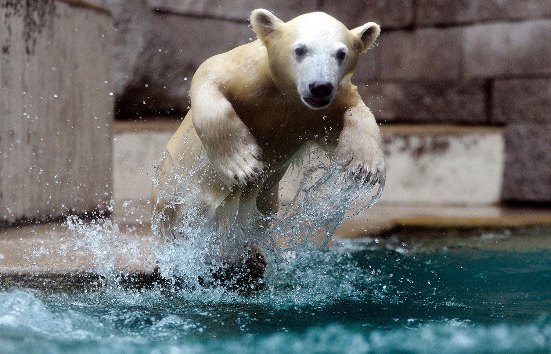 дикий белый медведь, фото