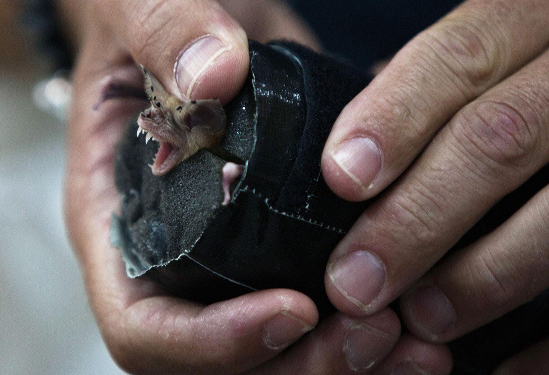 летучая мышь, фото