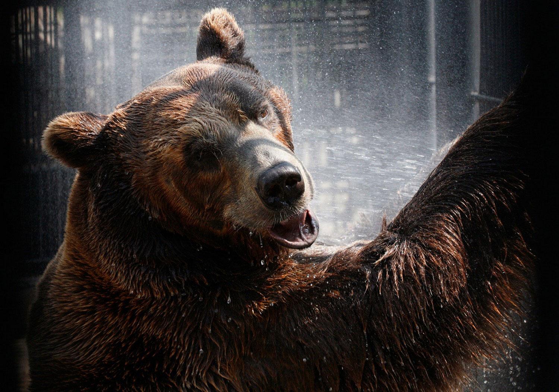 дикое животное - бурый медведь, фото