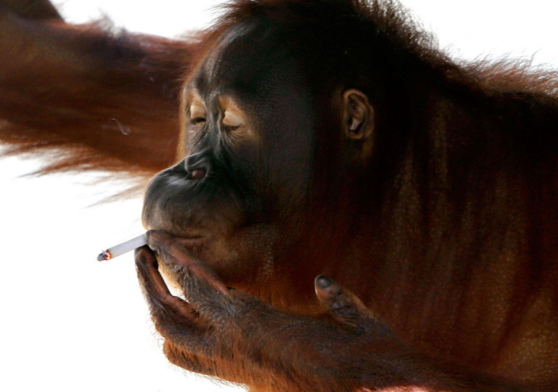 орангутанг курит в зоопарке, фото