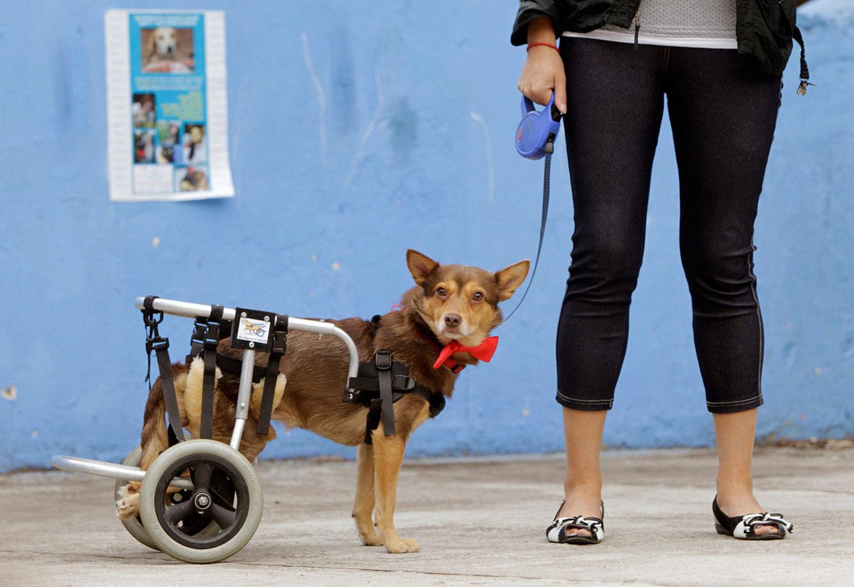 Собака-инвалид, фото