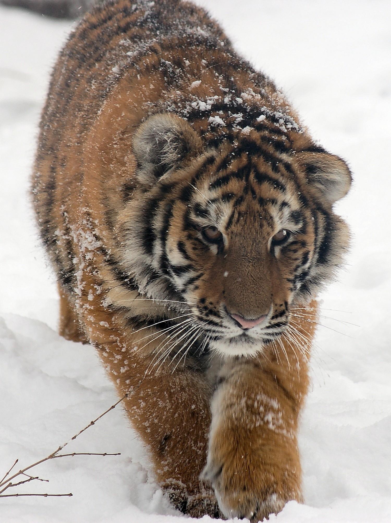 дикий амурский тигренок, фото