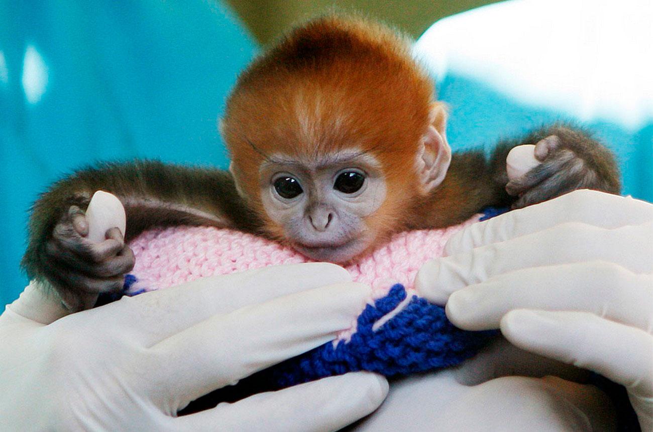 детеныш редкого вида обезьян, фото из зоопарка
