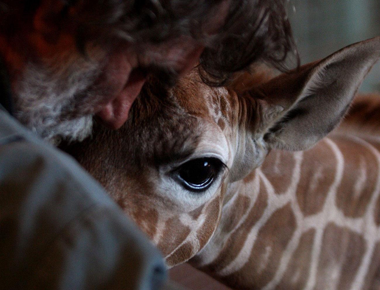 детеныш жирафа в зоопарке, фото