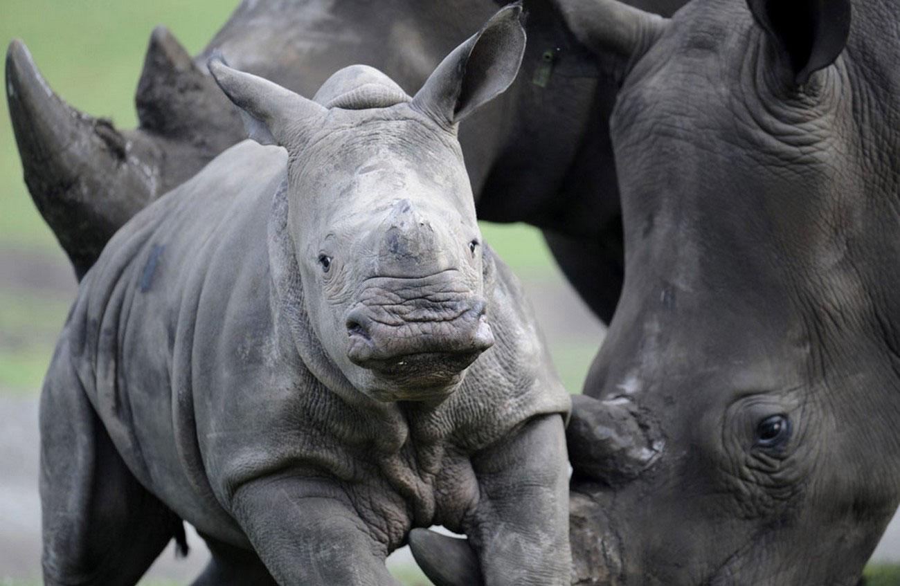 Детеныш белого носорога в зоопарке, фото
