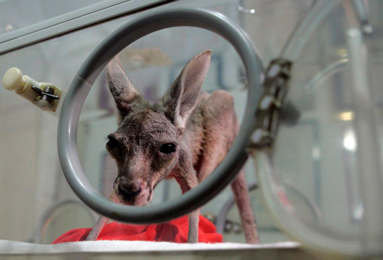 Детеныш кенгуру в инкубаторе, фото
