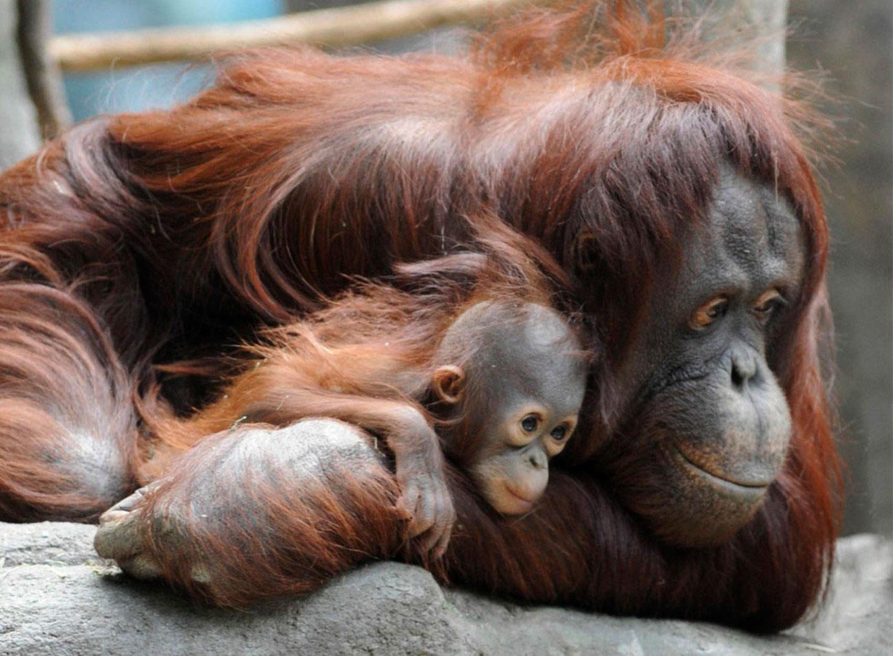 орангутанги в зоопарке, фото