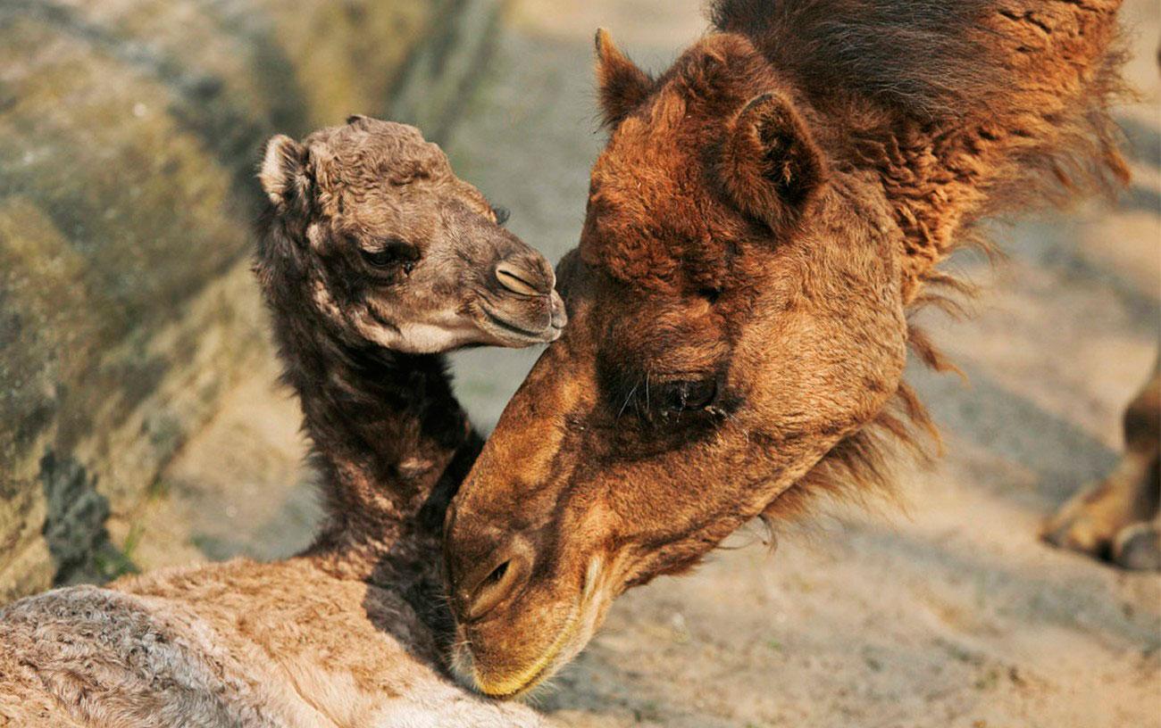 Семейство верблюдов в открытом вольере, фото