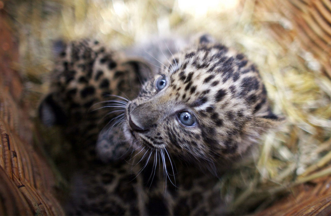 леопарды в зоопарке, фото