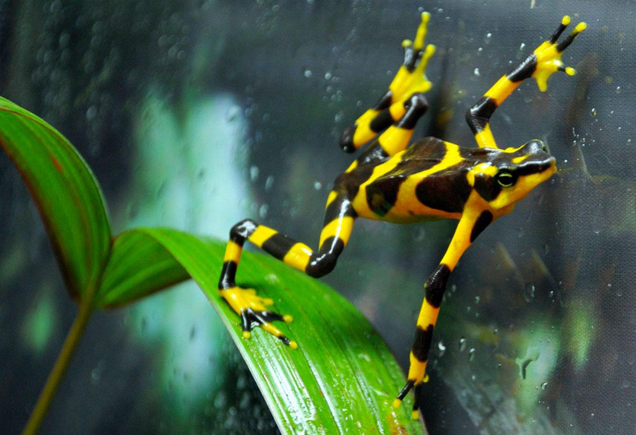 Лягушка-Арлекин в зоопарке, фото
