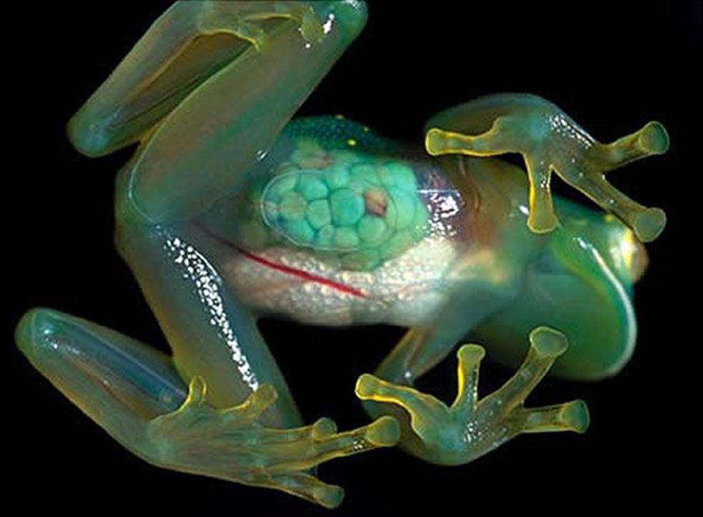 Стеклянная лягушка в зоопарке, фото