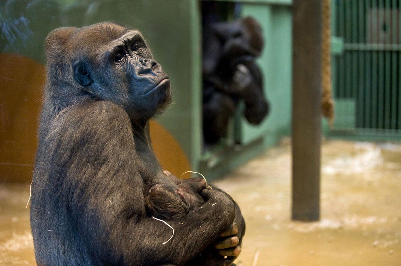 семья горилл в Роттердамском зоопарке, фото