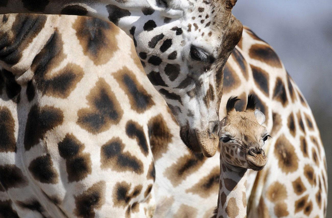 Детеныш жирафа, фото