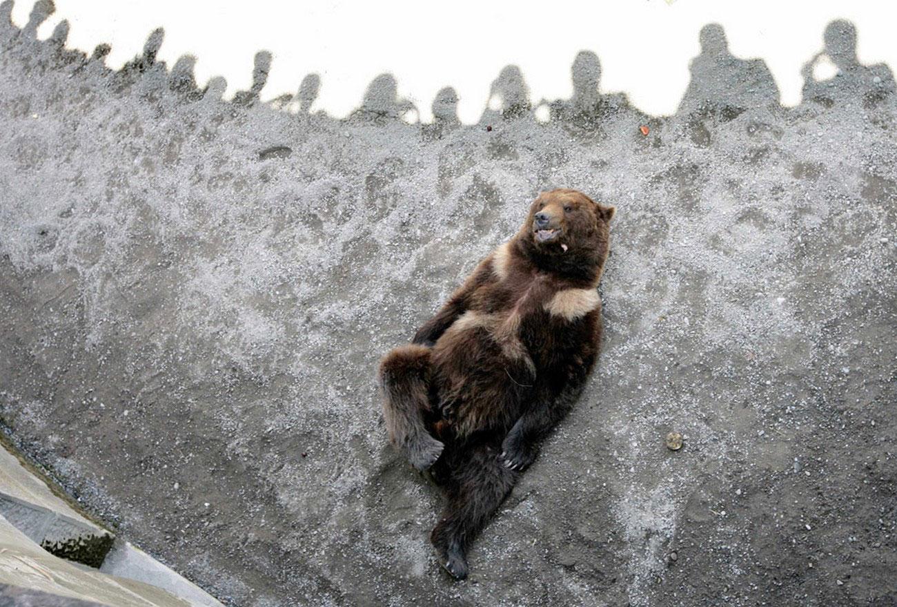 Бурый медведь в зоопарке Швейцарии, фото