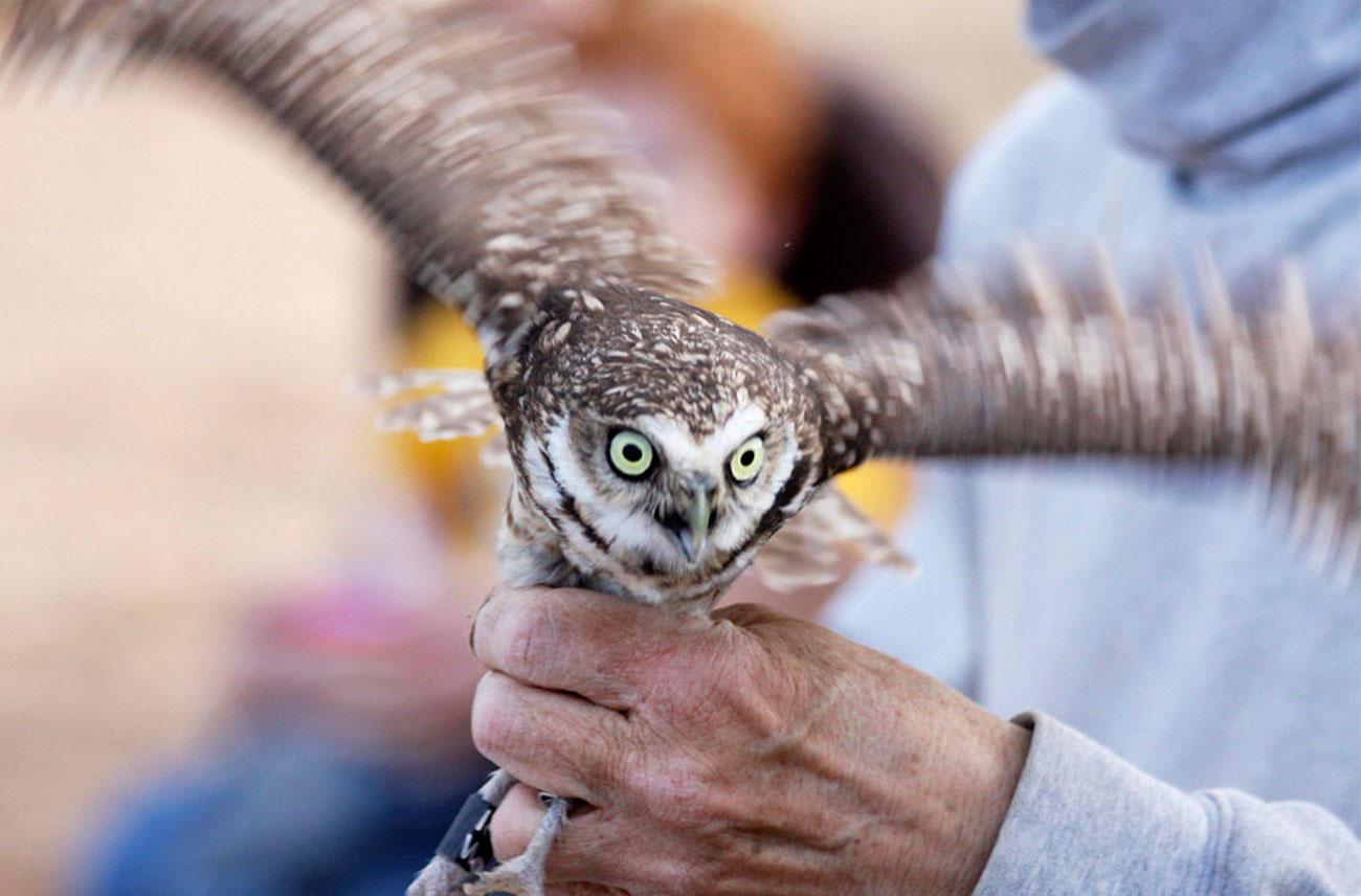 совы в Аризоне, фото