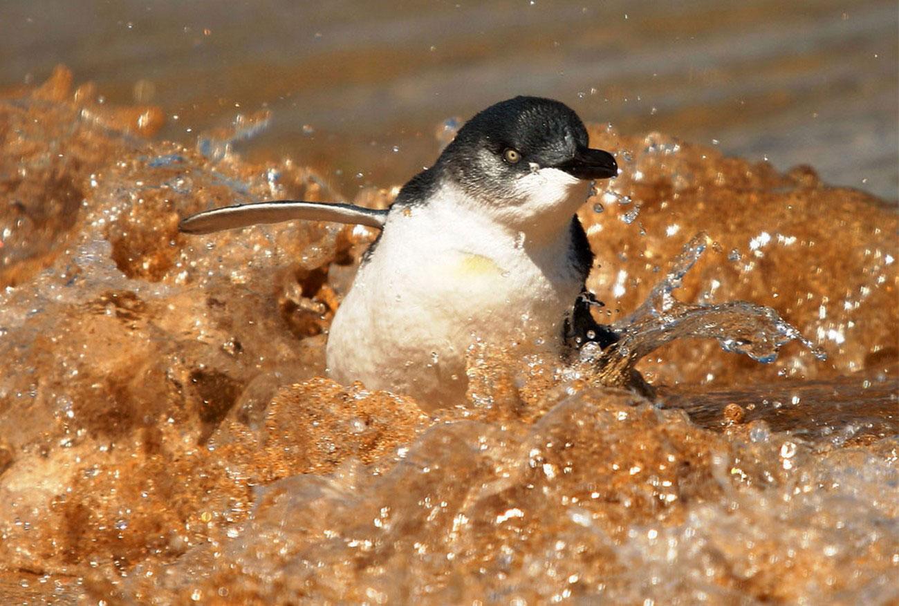 Малый пингвин в зоопарке Сиднея, фото