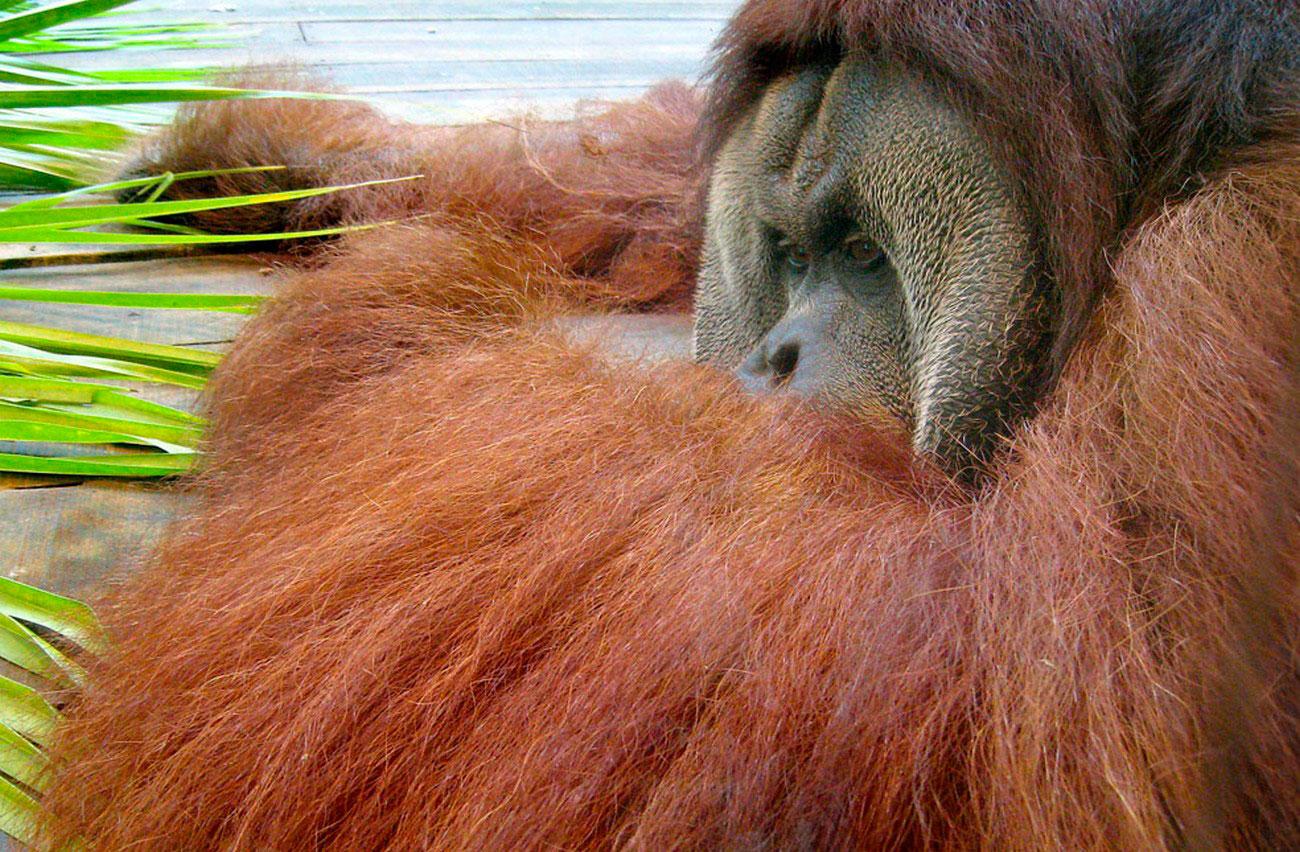 самец Суматранского орангутанга в зоопарке, фото