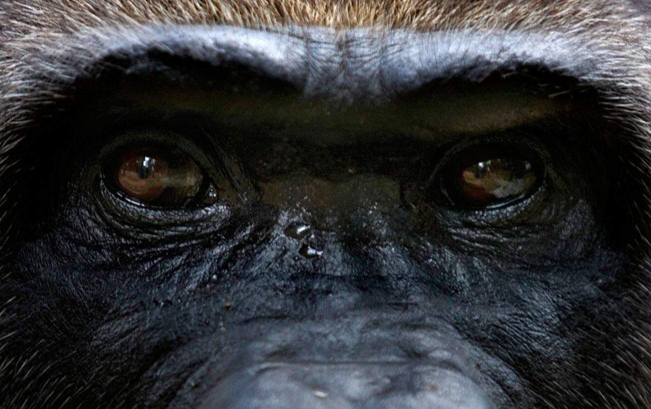 самец гориллы в зоопарке, фото