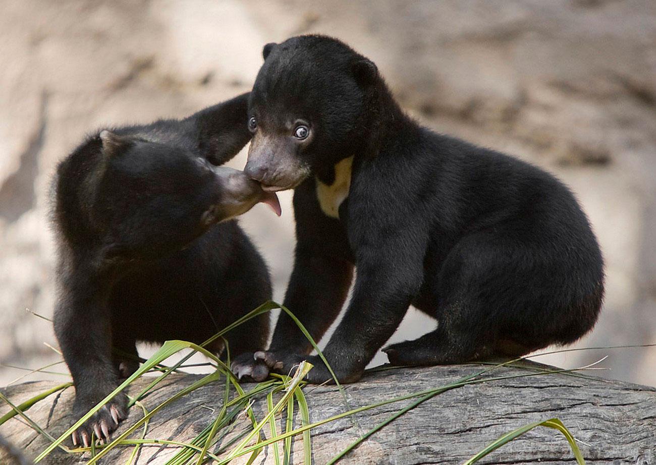 гималайские медвежата, фото