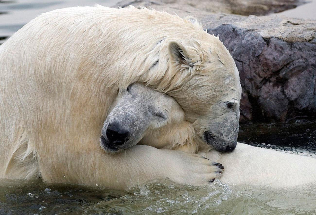 Полярные медведи в зоопарке, фото