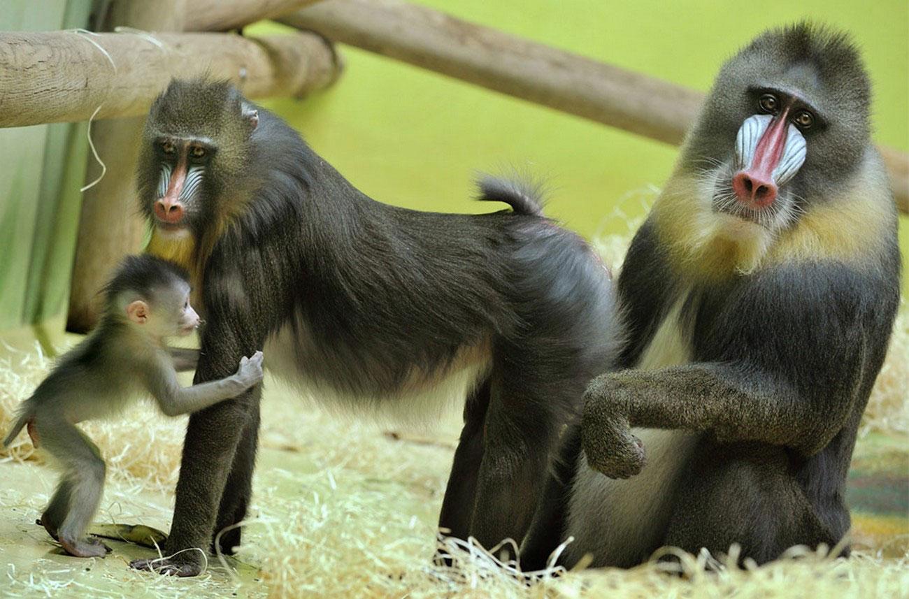 гамадрилы в зоопарке, фото