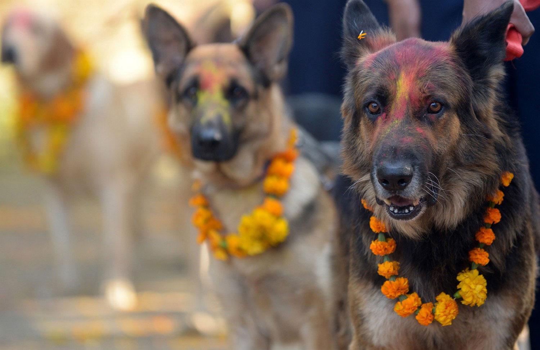 собаки в цветном порошке и в цветах на Дивали