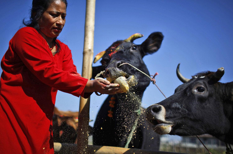 коровы на Дивале, фото