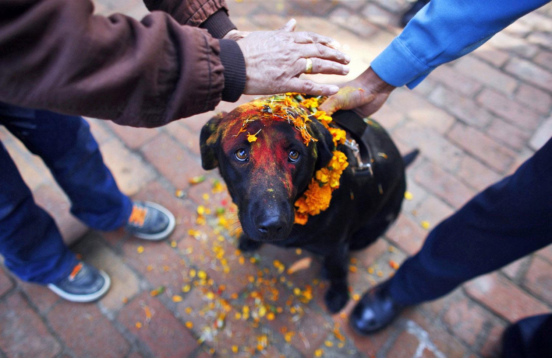 собаку наряжают на Дивали