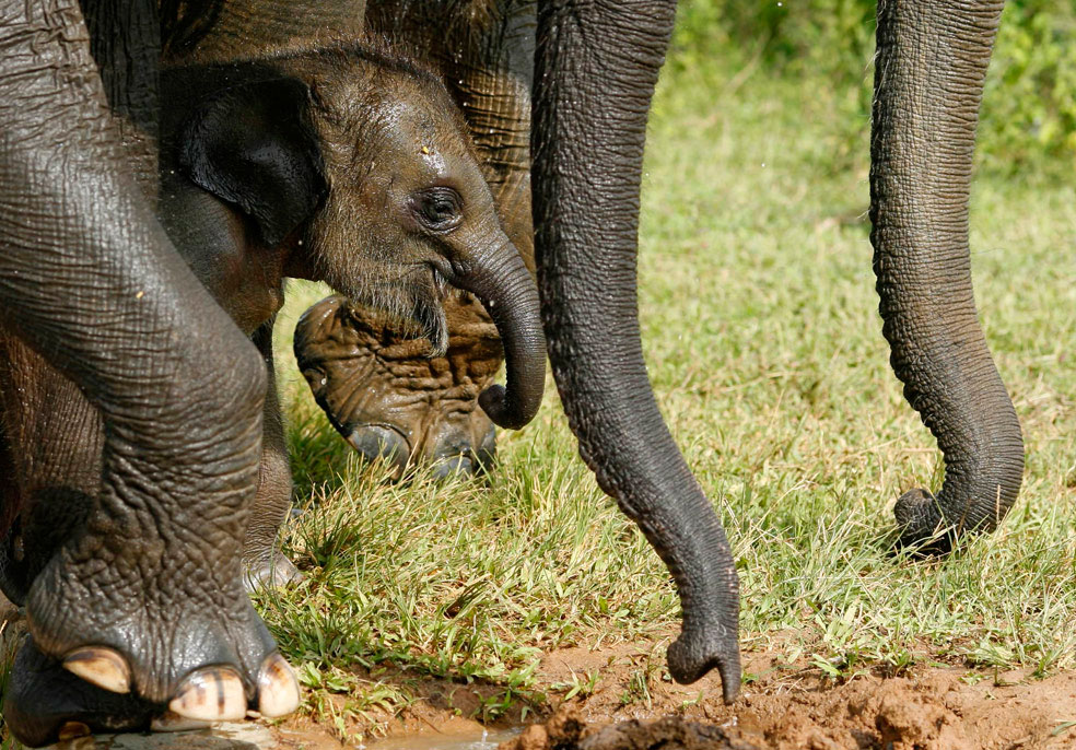 суматранский слоненок, фото из Индонезии
