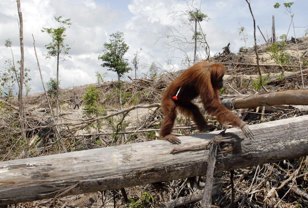 орангутанг, фото из Индонезии