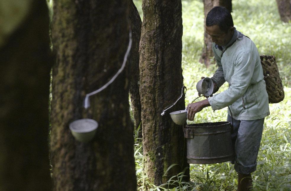 латекс на каучуковой плантации, фото из Индонезии