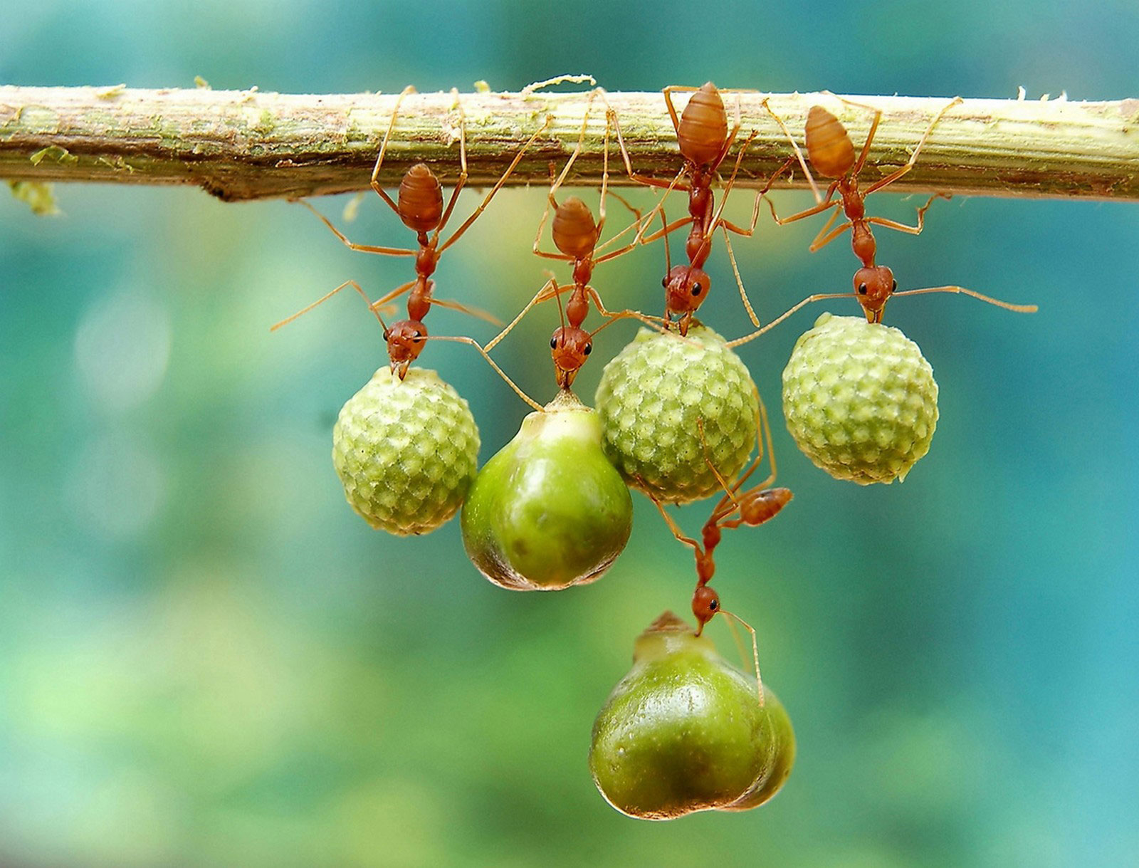 муравьи с семенами