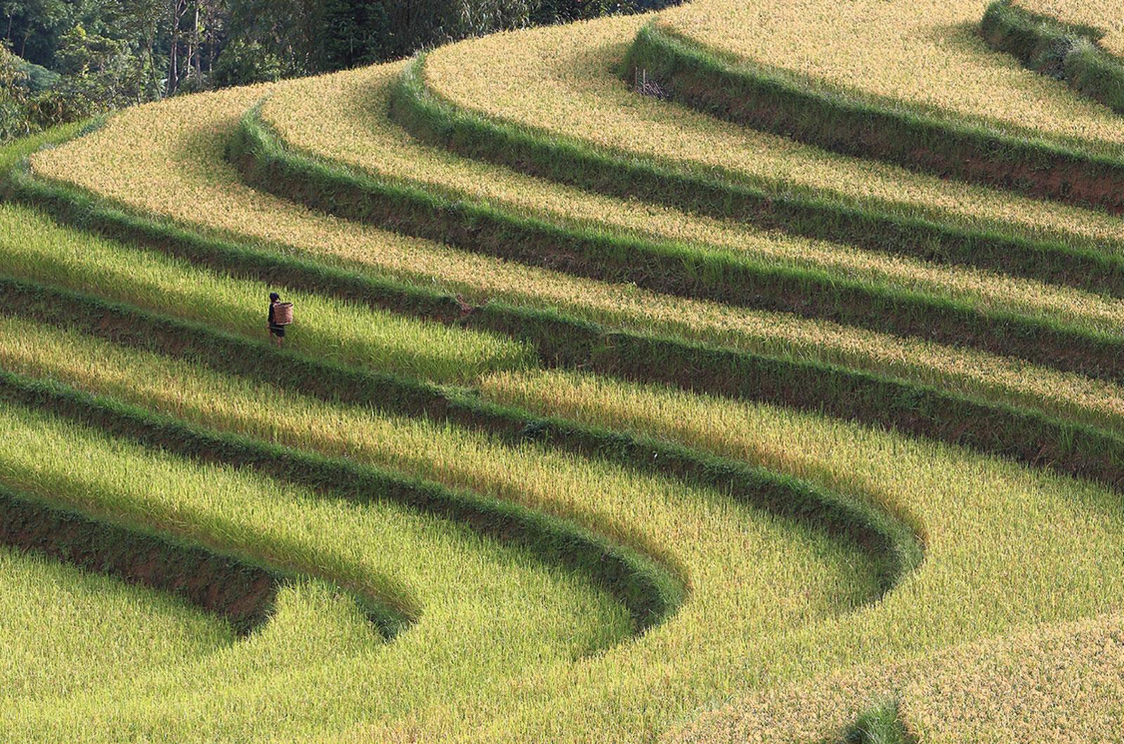 Рисовые поля, фото с конкурса ежегодного