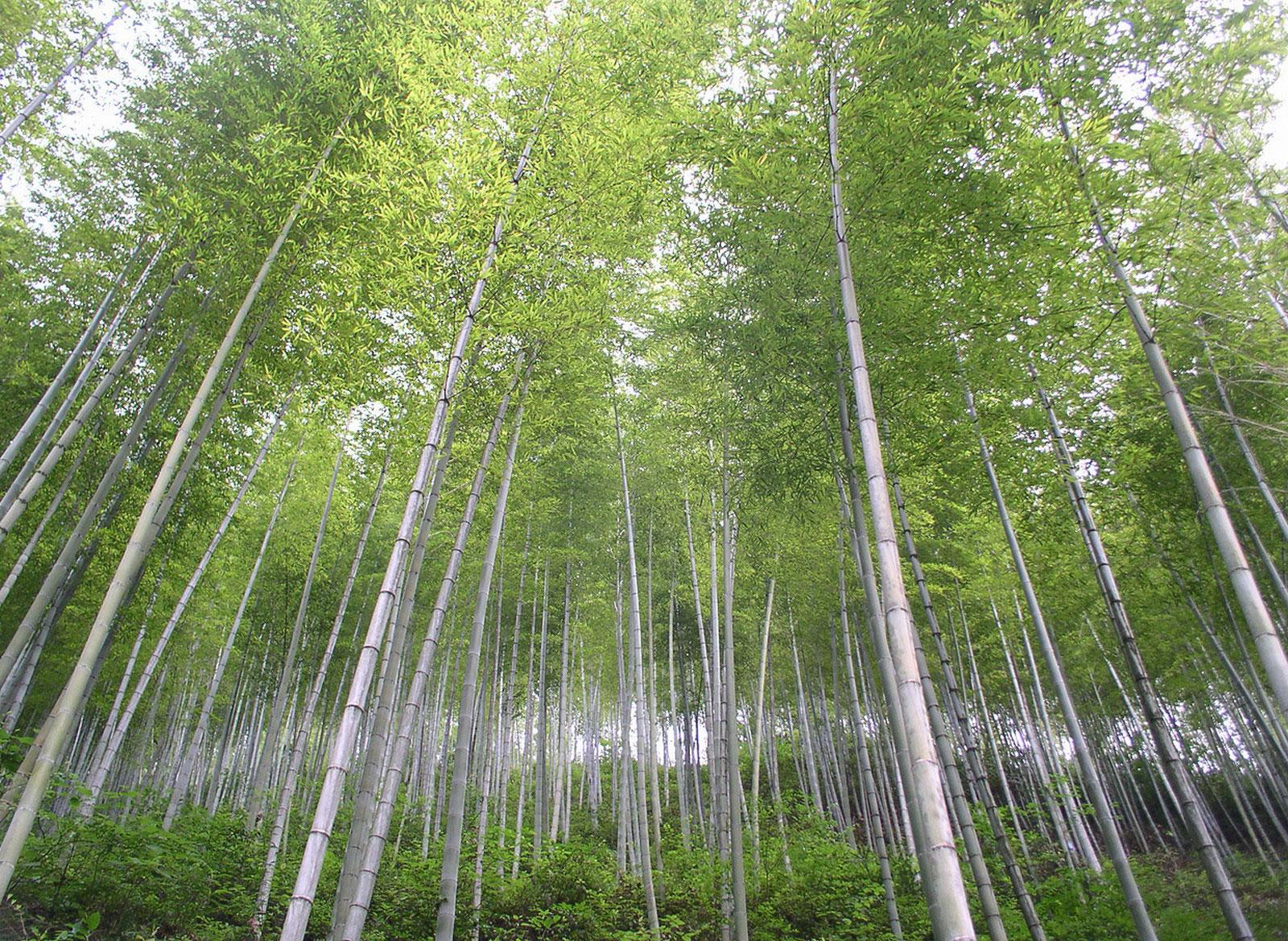 бамбук, фото леса