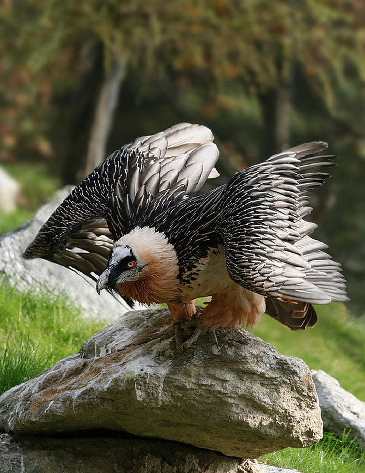 Снимок птицы бородача с фотоконкурса