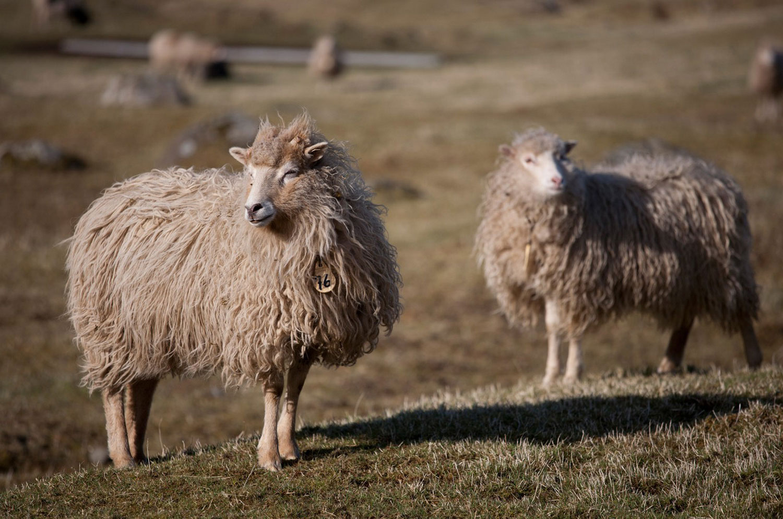Овцы пасутся на архипелаге, фото