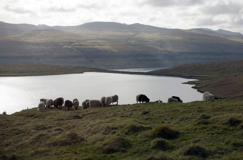 стадо овец на холмах Фарер