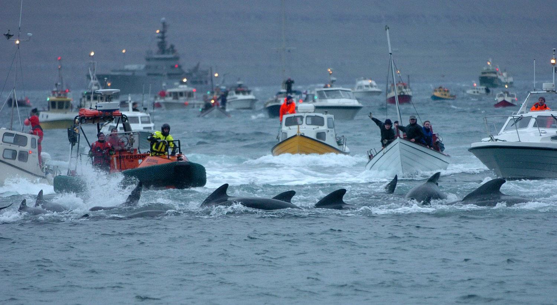 убой черных дельфинов, фото с фарерских островов